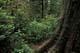 BASE OF CEDAR TREE, PACIFIC RIM NATIONAL PARK
