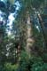 OLD GROWTH CEDAR FOREST, PACIFIC RIM NATIONAL PARK