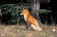 RED FOX SITTING ON GRASS IN AUTUMN LEAVES, PRINCE ALBERT NATIONAL PARK