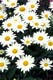 SHASTA DAISIES, WISHING WELL, CLEAR LAKE, RIDING MOUNTAIN NATIONAL PARK