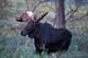BULL MOOSE, RIDING MOUTAIN NATIONAL PARK