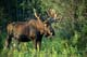 BULL MOOSE IN SUMMER, RIDING MOUNTAIN NATIONAL PARK