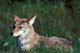 COYOTE LAYING IN GRASS, RIDING MOUNTAIN NATIONAL PARK