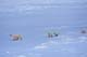 FEMALE POLAR BEAR AND THREE CUBS IN SNOW, CAPE CHURCHILL, WAPUSK NATIONAL PARK
