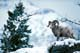 BIGHORN SHEEP ON SNOWY RIDGE, WATERTON LAKES NATIONAL PARK