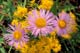 THREE ASTERS AND GOLDENROD FLOWERS, WATERTON LAKES NATIONAL PARK