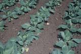 LOC REG MIS  SK     1908628DCABBAGE PLANTS IN GARDENDIEFENBAKER HOMESTEADREGINA                                07/..                   © CLARENCE W. NORRIS      ALL RIGHTS RESERVEDCABBAGES;CROPS;DIEFENBAKER_HOMESTEAD;FARMING;GARDEN;PLAINS;PRAIRIES;REGINA;SASKATCHEWAN;SK_;SUMMER;VEGETABLESLONE PINE PHOTO              (306) 683-0889