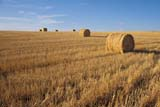SEA AUT SCE  SK     1308707ADROUND BALES IN FALL STUBBLEREDBERRY LAKE                  10..© CLARENCE W. NORRIS      ALL RIGHTS RESERVEDAUTUMN;BALES;CROPS;FARMING;FIELDS;PLAINS;PRAIRIES;REDBERRY_LAKE;ROUND;RURAL;SASKATCHEWAN;SCENES;SK_;STUBBLELONE PINE PHOTO              (306) 683-0889
