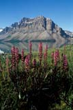 PAR NAT BAN  AB  REH1000731D  VTBOG FLOWERS, BOW LAKE AND BOW MOUNTAINBANFF NATIONAL PARK            08© ROYCE HOPKINS                  ALL RIGHTS RESERVEDAB_;ALBERTA;ALPINE;BANFF_NP;BOW_LAKE;BOW_MOUNTAIN;CORDILLERA;FLOWERS;MOUNTAINS;NP_;RIVERS;ROCKY;SCENES;SUMMER;VTL;WILDFLOWERSLONE PINE PHOTO                 (306) 683-0889