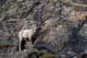 BIGHORN SHEEP ON MOUNTAIN, JASPER NATIONAL PARK