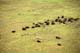 AERIAL VIEW WOOD BISON HERD ON THE MOVE, WOOD BUFFALO NATIONAL PARK