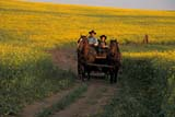PEO ACT SUM  SK    1609959D  MR    PEOPLE RIDING IN WAGON THROUGH CANOLA FIELDST. DENIS                             0729© CLARENCE W. NORRIS       ALL RIGHTS RESERVEDACTIVITIES;ANIMALS;CANOLA;COWBOYS;CROPS;FIELDS;HORSES;MALE;MR_;OUTDOORS;PEOPLE;RURAL;SASKATCHEWAN;SCENES;SK_;ST_DENIS;SUMMER;WAGONS;WESTERNLONE PINE PHOTO                  (306) 683-0889