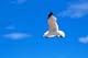 SEAGULL SOARING, WASKESIU LAKE, PRINCE ALBERT NATIONAL PARK