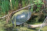 REP TUR PAI  MB  PNB1900194DPAINTED TURTLE IN MARSHFORT WHYTE NATURE CENTREWINNIPEG                           06/..© PAUL BROWNE                ALL RIGHTS RESERVEDFORT_WHYTE_NATURE_CENTRE;MANITOBA;MARSHES;MB_;PAINTED_TURTLES;PLAINS;PRAIRIES;REPTILES;SUMMER;TURTLES;WINNIPEGLONE PINE PHOTO              (306) 683-0889