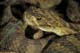 WESTERN RATTLESNAKE, WRITING-ON-STONE PROVINCIAL PARK