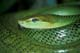 GREEN TREE SNAKE, ONTARIO