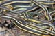 RED-SIDED GARTER SNAKES, NARCISSE