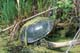 PAINTED TURTLE IN MARSH, FORT WHYTE NATURE CENTRE